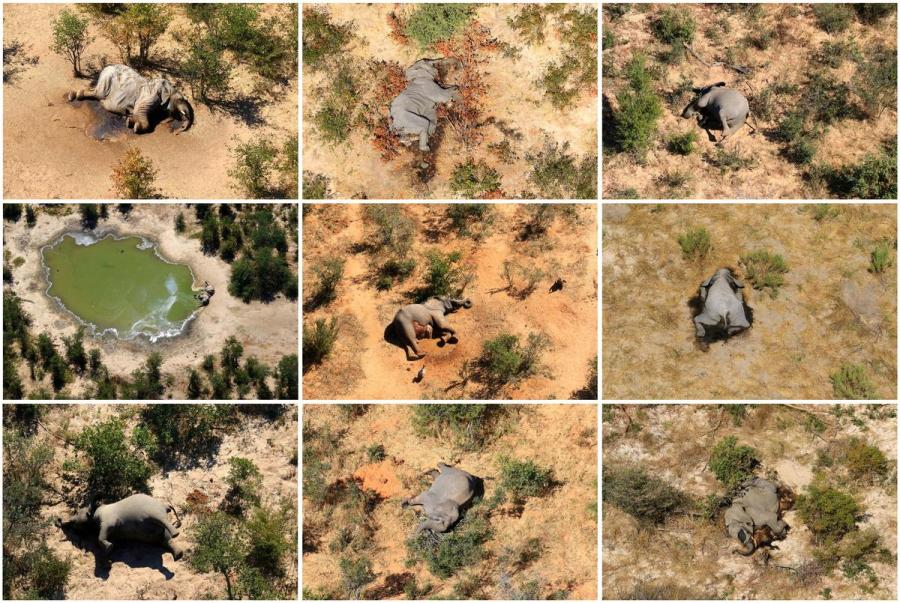 Dead elephants in Botswana